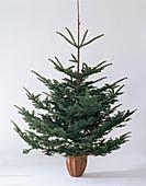 Abies nobilis 'Glauca', silver fir
