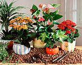 Hydroponic plants, Dracaena