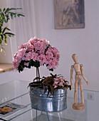 Azalea hybrid 'Mdme. Claude Truffaut'
