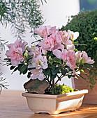 Azalea hybrid as bonsai 'Luisa'