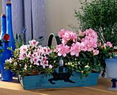 Azalea hybrids 'Kolibri' and 'Frankfurt city'