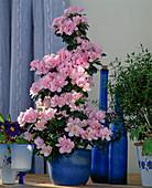 Azalea hybrid 'Claudia Terese'