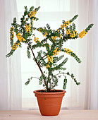 Acacia armata (hedge wattle)
