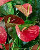 Anthurium hybrid 'Leni'