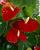 Anthurium hybrid 'Amigo'