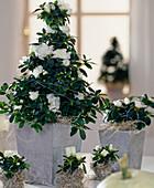 Azalea hybrids