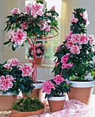 Azalea hybrids 'Inka' Rosa, 'Julia' Rosa