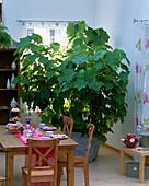 Sparmannia africana (room sage)