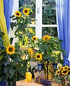 Helianthus annuus 'Teddybear', 'Sonja', 'Tiffany' (Sunflower)