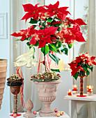 Euphorbia pulcherrima (Weihnachtsstern) als Stämmchen adventlich geschmückt