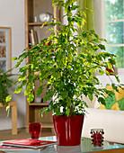 Ficus benjamina 'Golden Moniqu'