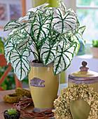 Caladium bicolor 'White Christmas' (Buntblatt)