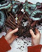 Begonia 'Olympia'