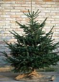 Abies nordmanniana (Nordmann fir