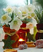 Helleborus niger (Christmas rose), Pinus (silk pine)