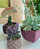 Succulent, Echeveria, Euphorbia lactea 'Cristata', grafted
