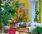 Room situations with Sparmannia (Zimmerlinde), Cymbidium