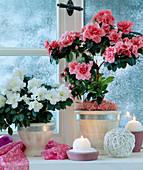 Azalea hybrid (azalea) in front of snowy window