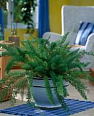 Asparagus densiflorus 'meyeri' (ornamental asparagus)