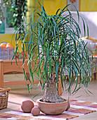 Beaucarnea recurvata (bottle tree)