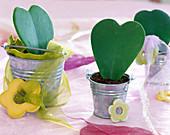 Hoya (wax flower) in heart shape
