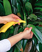 Wipe lice on Clivia leaves with a damp cloth