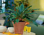 Chlorophytum-Hybr. 'Green Orange'
