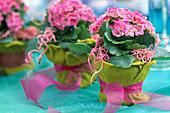 Kalanchoe blossfeldiana in Mini