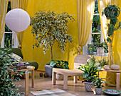Ficus benjamina / Birkenfeige, Calathea / Korbmarante