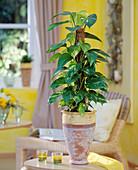 Epipremnum pinnatum (Efeutute)