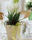 Muscari botryoides (grape hyacinth) with white flowers