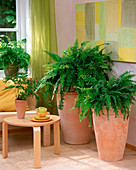 High pottery with Nephrolepis (sword fern)