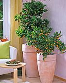 Citrofortunella microcarpa (ornamental orange)