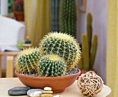 Echinocactus grusonii (mother-in-law's cushion)