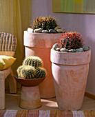 From the left, Echinocactus grisonii, Echinocactus ingens, Ferocactus gracilis