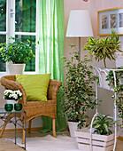 Beloperone (room hops), Begonia, Ficus benjamina