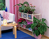 Flower Bank with Calathea, Peperomia, Hypoestes, Adenium