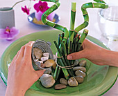 Arrangement with lucky bamboo (Dracaena)