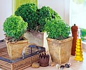 Basil, small-leaved Ocimum basilicum var. Minimum