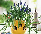 Crocus pot with muscari (grape hyacinth)