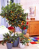 Citrofurtunella nutris (Calamondin orange), Pelargonium (Geranium)