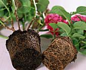 Hydrangea root ball