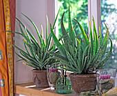 Aloe vera (real aloe)