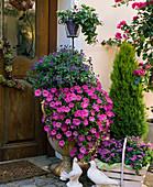 Solanum rantonnetii (Gentian shrub), Petunia 'Pink Wave', Vinca