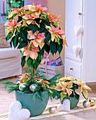 Euphorbia pulcherrima 'Da Vinci' as trunks and 'Cortez'