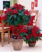 Euphorbia pulcherrima 'Mars', (poinsettia), furniture Ikea