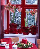 Hippeastrum (amaryllis), red felt bags as planters