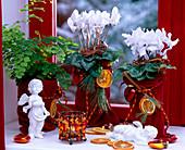 Cyclamen persicum cyclamen, Adiantum raddianum 'Fragrans' maidenhair fern