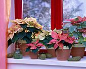 Euphorbia pulcherrima 'Cortez Marble', 'Da Vinci'