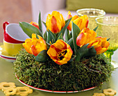 Tulipa 'Flair' (tulip) in a moss ring